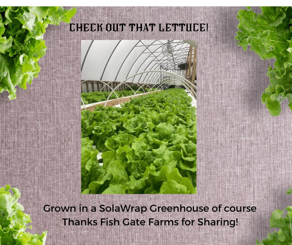 Lettuce in a SolaWrap Greenhouse